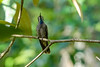 Brown-violet-ear Hummingbird, The Lodge at Pico Bonito, Honduras