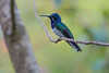 White-necked Jacobin, the Lodge at Pico Bonito, Honduras