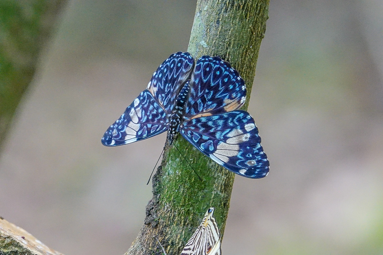 Red Cracker, The Lodge at Pico Bonito, Honduras