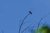 Black-crested Coquette Hummingbird, The Lodge at Pico Bonito, Honduras