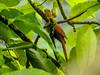 Squirrel Cuckoo, Reserva Forestal De Fortuna, Panama