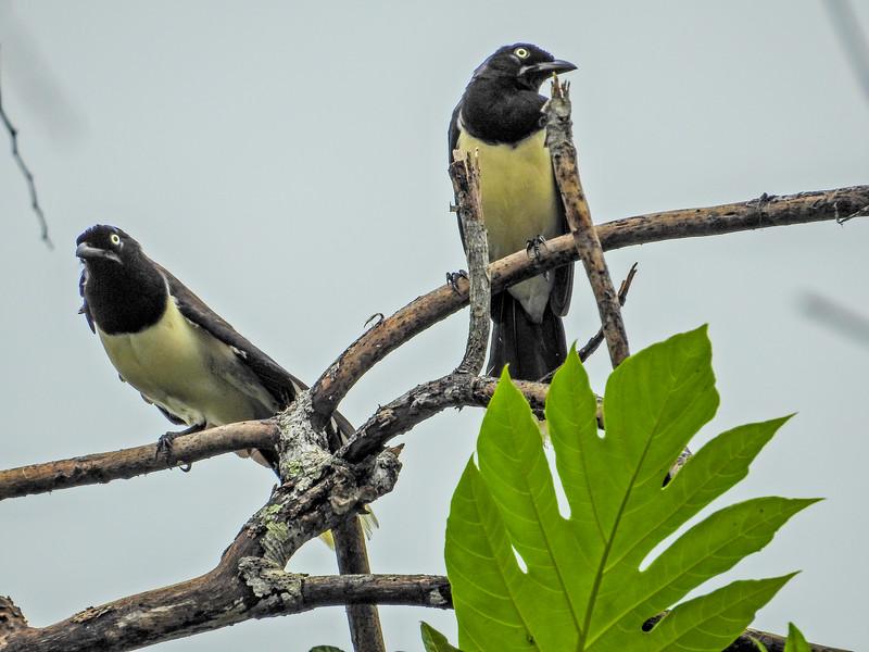 Black Jay, Punte Peña, Panama
