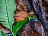 Poison Dart Frog (with tadpole) Popa Island, Panama