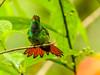 Rofous-tailed Hummingbird, Reserva Forestal De Fortuna, Panama
