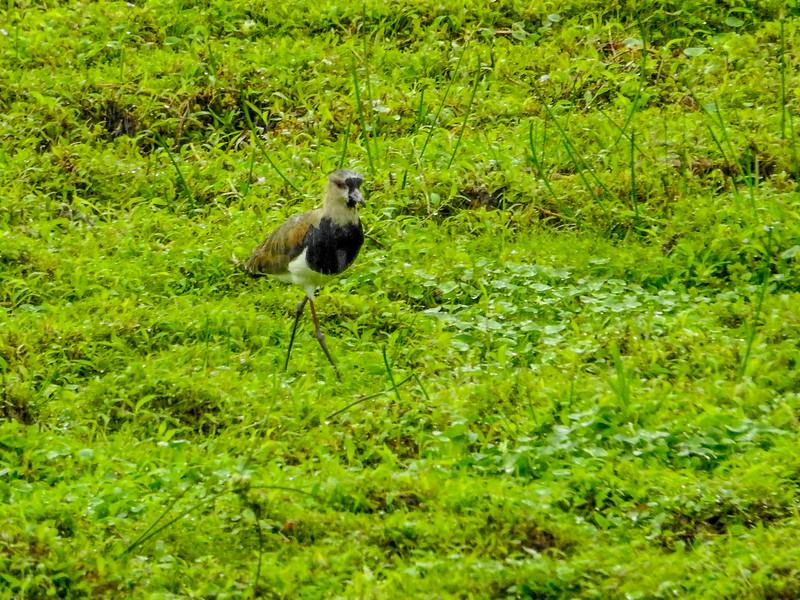 Southern Lapwing, Punte Peña, Panama