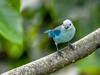 Blue-grey Tanager, Tranquilo Bay Lodge, Panama