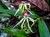 Orchid, Green Acres Chocolate Farm, Bocas del Toro, Panama