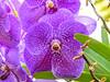 Orchids, Riande Aeropoto Hotel, Panama City, Panama