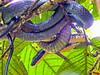 Bird-eating Snake, Tranquilo Bay Lodge, Panama