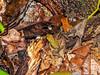 Poison Dart Frogs, Popa Island, Panama