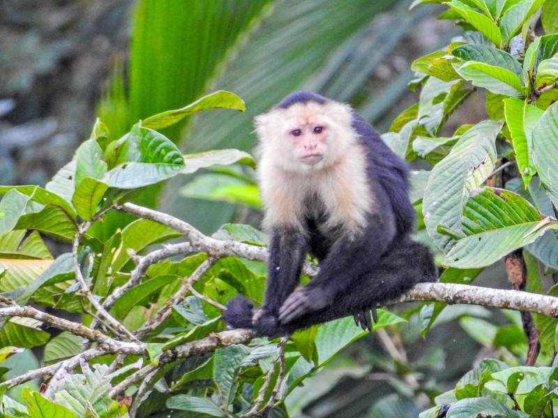 White-faced Capuchin, Tranquilo Bay Lodge, Panama