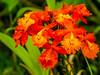 Mountain Orchid, Reserva Forestal De Fortuna, Panama