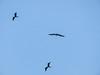 Frigatebirds, Bird Islands, Bocas del Toro Province, Panama