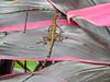 Banded Gecko, Green Acres Chocolate Farm, Bocas del Toro, Panama