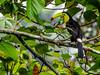 Keel-billed Toucan, Punte Peña, Panama