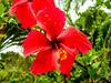 Hibiscus, Tranquilo Bay Lodge, Panama