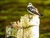 Mangrove Swallow, Snyder Canal, Changuinola Panama