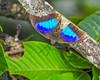 Small Blue Morpho sp. Tranquilo Bay Lodge, Panama
