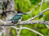 Amazon Kingfisher, Snyder Canal, Changuinola Panama