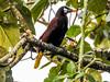 Montazuma Oropendula, Tranquilo Bay Lodge, Panama