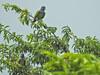 Blue-headed Parrot, Tranquilo Bay Lodge, Panama