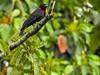 Purple-throated Fruit Crow, Green Acres Chocolate Farm, Bocas del Toro, Panama