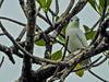 White Cotinga, Popa Island, Panama