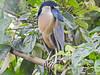 Boat-billed Heron, Punte Peña, Panama