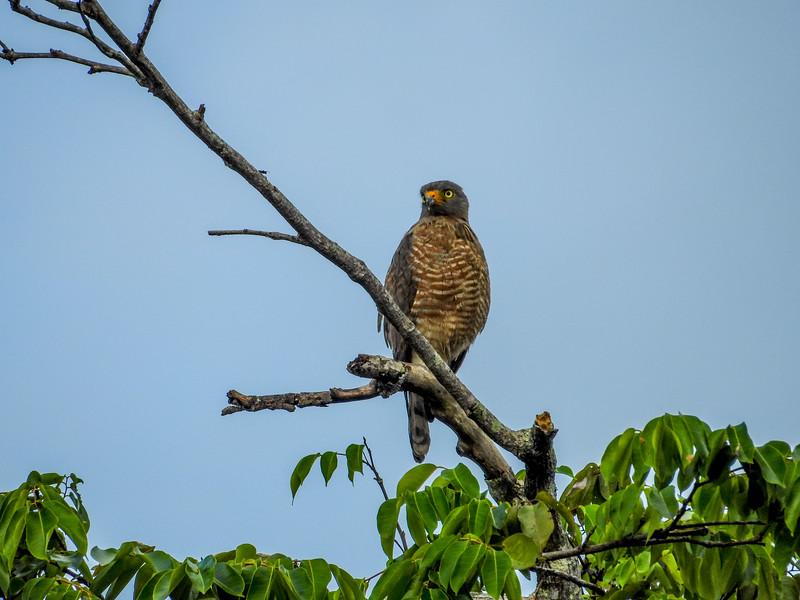 Roadside Hawk, Snyder Canal, Changuinola Panama