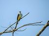 Sissor-tailed Flycatcher, Snyder Canal, Changuinola Panama