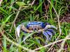 Blue Land-crab, Tranquilo Bay Lodge, Panama