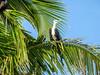 Magnificent Frigatebird, Bird Islands, Bocas del Toro Province, Panama