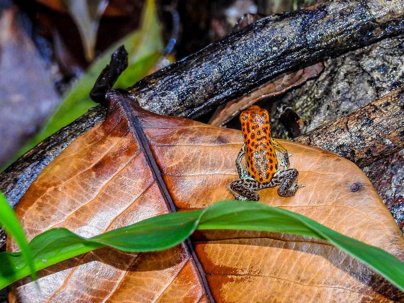 Poison Dart Frog, Popa Island, Panama