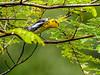 Blackburnian Warbler, Reserva Forestal De Fortuna, Panama