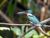 Green Kingfisher, Snyder Canal, Changuinola Panama