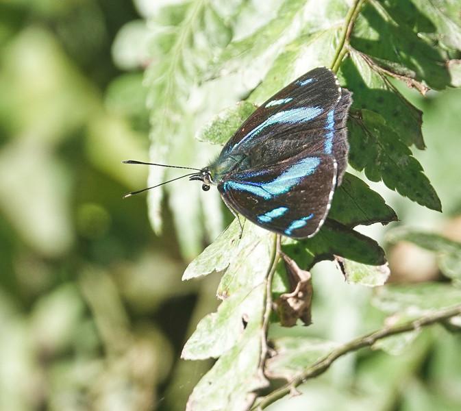 Humboldt's Perisama<br /> Perisama humboldtii