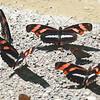 Angle-winged Telesiphe<br /> Podotricha telesiphe