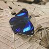 Blue Perisama<br /> Perisama philinus