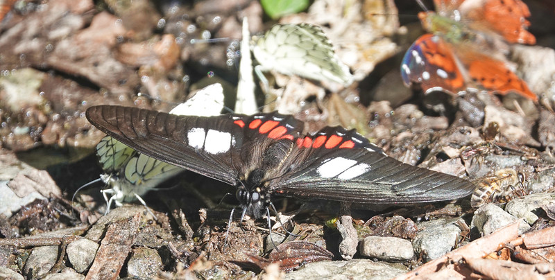 Ruby-spotted Swallowtail<br /> Heraclides anchisiades
