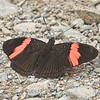 Pink-banded Sister<br /> Adelpha lycorias
