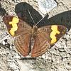 Orange-barred Sister<br /> Adelpha saundersii