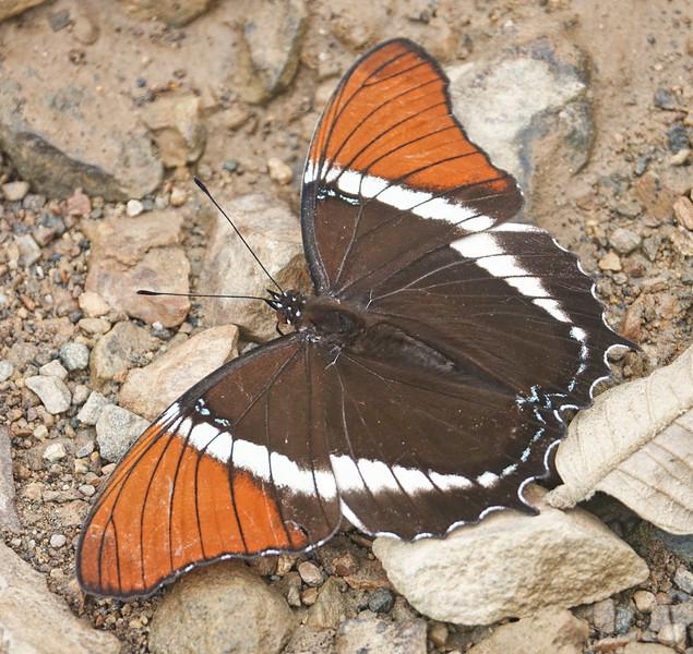 Rusty-tipped Page<br /> Siproeta epaphus