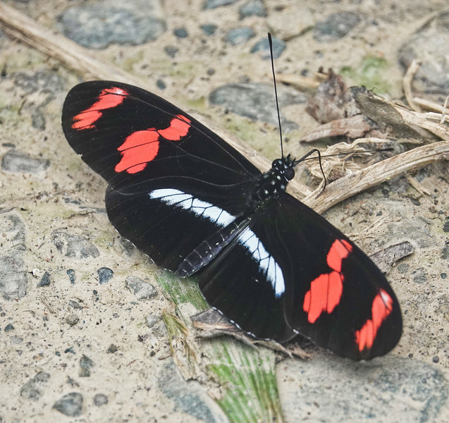 Common Longwing<br /> Heliconius erato