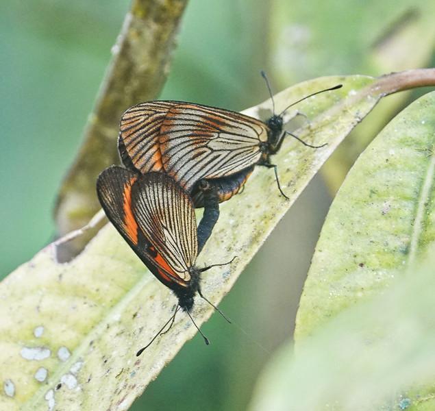 Acraea Mimic<br /> Castilia perilla