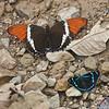 Rusty-tipped Page<br /> Siproeta epaphus<br /> Manu Perisama<br /> Perisama canoma