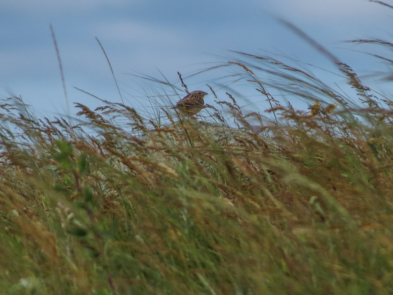 Grasshopper Sparrow, School Section, Medina ND