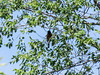 Orchard Oriole, Chase Lake NWR, ND