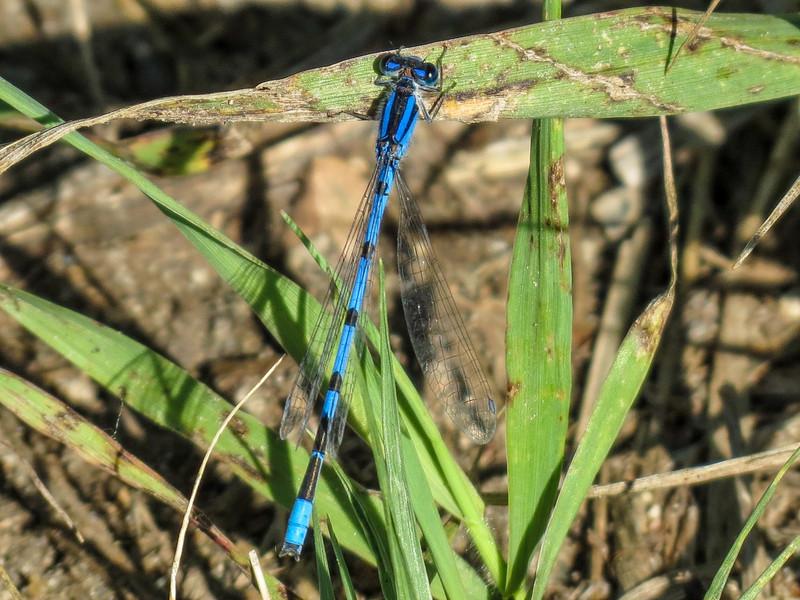 Prairie? Bluet, Chase Lake NWR, ND
