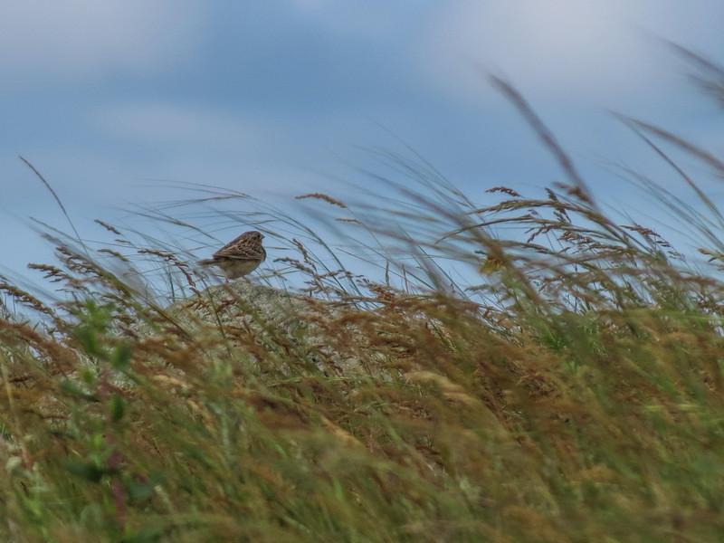 Grasshopper Sparrow, School Section, Medina ND