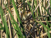 Marsh Wren, Chase Lake NWR, ND